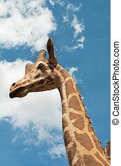 Giraffe portrait on sky background