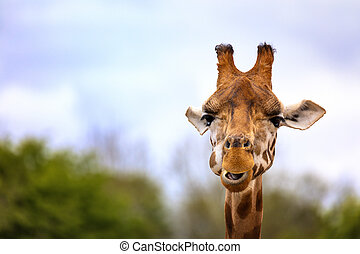 Giraffe portrait with space for text