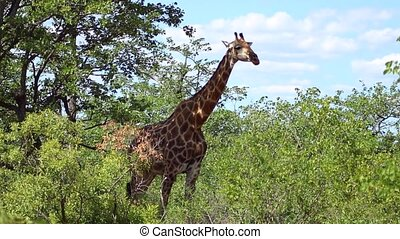 Giraffe Ruminating in Kruger National Park