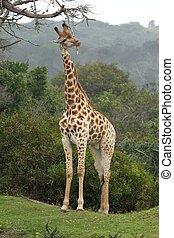 Giraffe Scratching - Giraffe scratching against a dead...