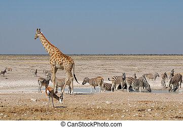 Giraffe, Springbok and zebras at Nebrownii in the Etosha...