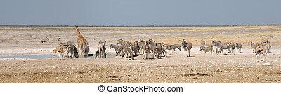 Giraffe, Springbok, Oryx and zebras