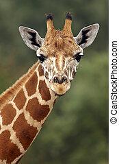 Closeup of a Giraffe head staring at camera.
