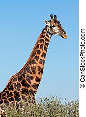 giraffe, stier, porträt