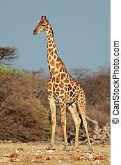 giraffe, stier