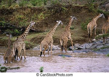 Giraffe - Masai Giraffe (Giraffa camelopardalis...