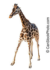 Giraffe - Young Giraffe isolated on the white background