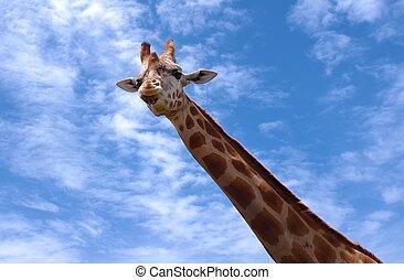 giraffe - closeup of giraffe  portrait over sky