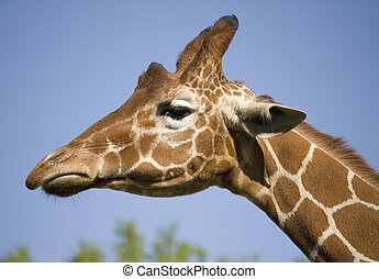 Giraffe - Close-up of giraffe head against blue sky.