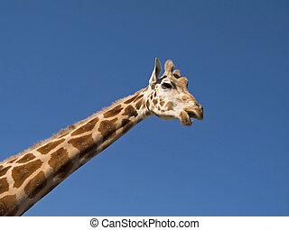 Giraffe - A close-up of a giraffe showing the head and long...
