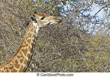 Giraffe eating in the Kruger National Park, South Africa