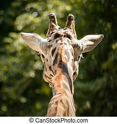 Giraffes head back view against green background.