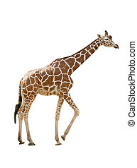 Giraffe - Photo of a giraffe isolated over white