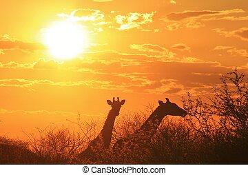 Giraffe Sunset of Wonder and Beauty