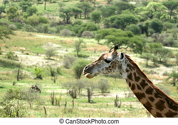 Giraffe - Tarangire National Park. Tanzania, Africa -...