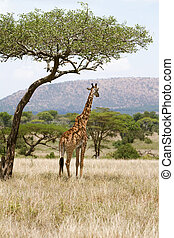 Giraffe under a tree in Africa - Giraffe standing under a ...