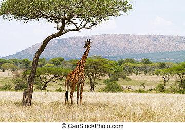 Giraffe under a tree in Serengeti - Giraffe standing under a...