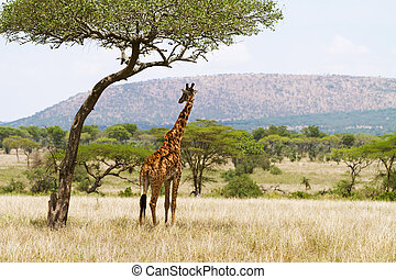 Giraffe under a tree in Serengeti - Giraffe standing under a...