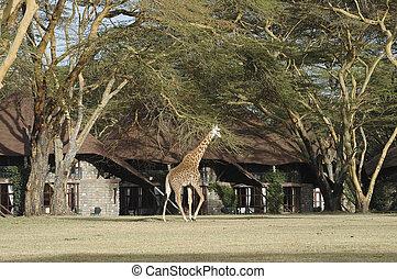 Giraffe walk in front of bungalows - Masai Giraffe wondering...