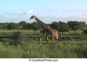 A giraffe walking in Tarangire National Park in Tanzania Africa