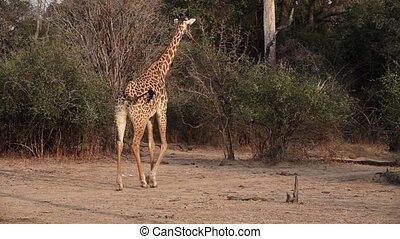 Giraffe walking in super slow motion