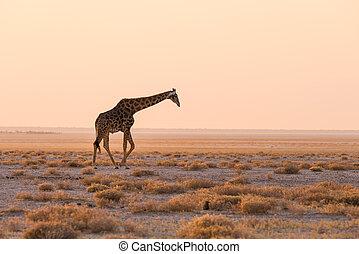 Giraffe walking in the bush on the desert pan at sunset.