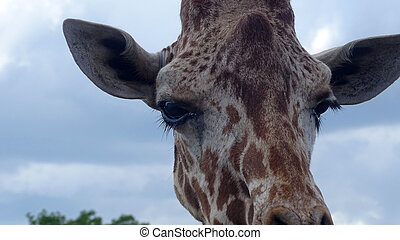 Giraffe with blue sky backgroud.