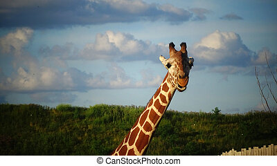Giraffe with blue sky background.