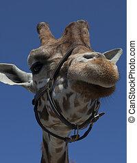 giraffe with blue sky