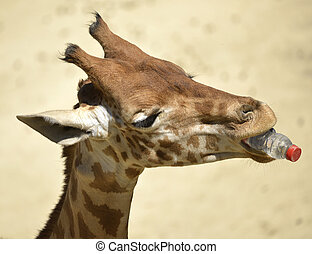 Giraffe with bottle in mouth