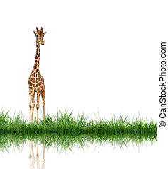 giraffe with green grass isolated