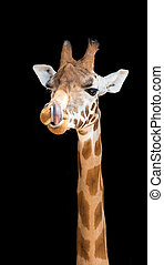 Giraffe with his tongue up his nostril