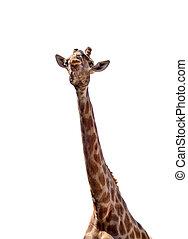 giraffe with long neck - giraffe with the lengthiest neck,...