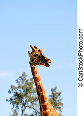 Giraffe with mouth open while chewing leaves