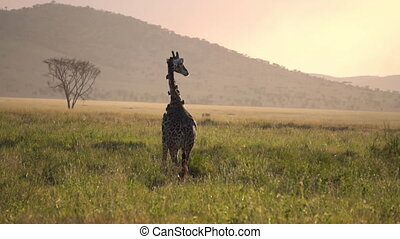 Giraffe With Oxpeckers on Sunset in Serengeti National Park Tanzania