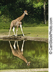 Giraffe with reflection in water