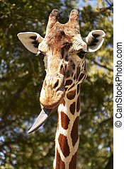 Giraffe with Tongue Sticking Out