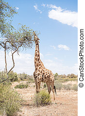 A Giraffe with its tongue visible in the Franklin Nature Reserve on Naval Hill in Bloemfontein, South Africa