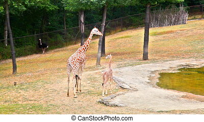 Giraffe with young on zoo gound