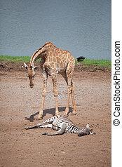 giraffe, zebre
