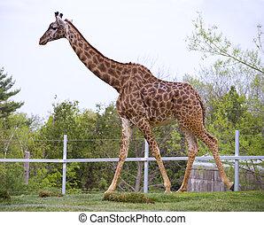 Giraffe,  zoo