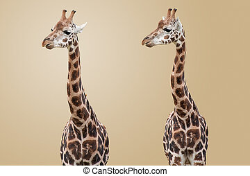 giraffen, freigestellt