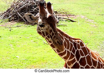 Giraffes 2