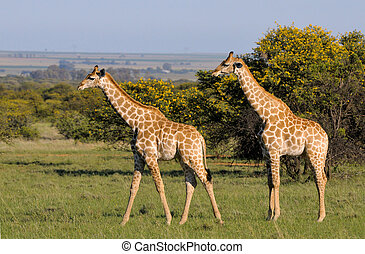 Giraffes 2 - Two Giraffes on grass field in South Africa