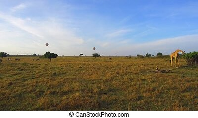 giraffes and air balloons in savannah at africa - animal,...