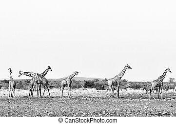 Giraffes and Burchells Zebras. Monochrome