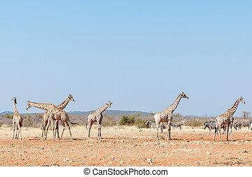 Giraffes and Burchells Zebras - Six giraffes and a herd of...