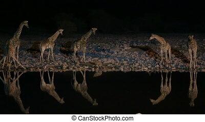 Giraffes and hyena in waterhole, dangerous situation, night time
