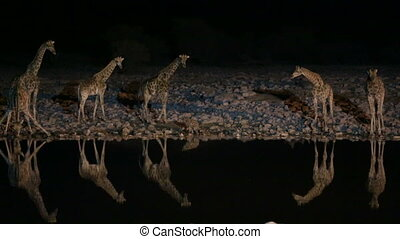 Giraffes and hyena in waterhole, dangerous situation, night time