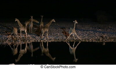 Giraffes and hyena in waterhole